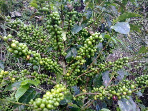 koffiestruik groen