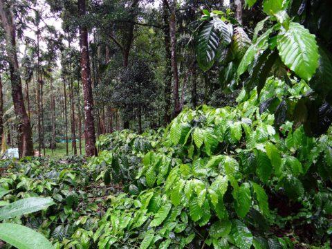 koffie plantage groen